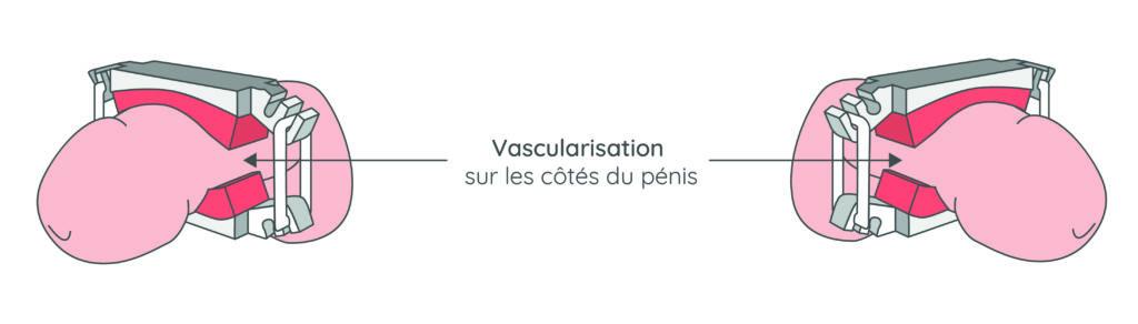 schéma vascularisation sur les côtés du pénis - stop uri - incontinence homme